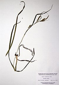 Carex scabrata BW-1979-0714-0302.jpg