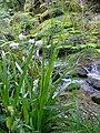 Carex sylvatica plant (2).jpg