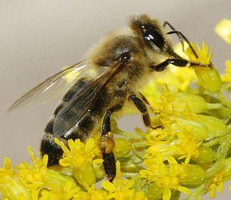 Karl von Frisch - Carniolan honey bee on a goldenrod flower head