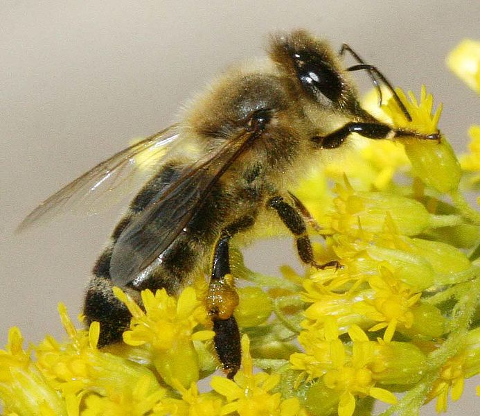 Slika:Carnica bee on solidago.jpg