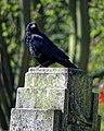 Carrion crow Corvus corone, Tottenham Cemetery, Haringey, London, England 4.jpg