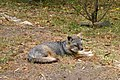 Catalina Island Fox (Urocyon littoralis catalinae) Tachi.jpg