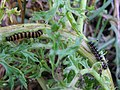 Caterpillas on ragwort.jpg