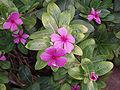 CatharanthusRoseus3.jpg