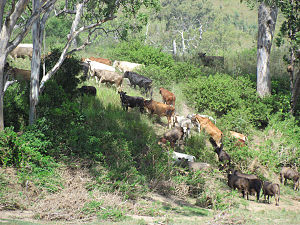 Somerset Region - Cattle grazing in the Upper Brisbane Valley, north of Linville