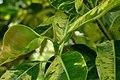 Caucho variado (Ficus elastica variegata) (14412043440).jpg
