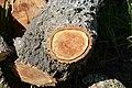 Cavités dans des bûches de peuplier blanc (44).JPG