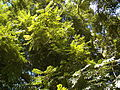 Cedrela fissilis foliage2.jpg