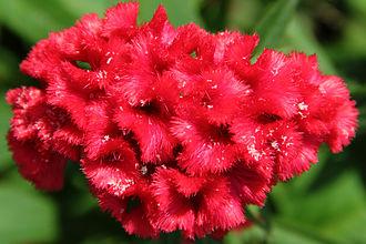 Celosia - Flower of Celosia cristata