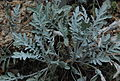 Centaurea niederi 06-17 Philweb (4).jpg