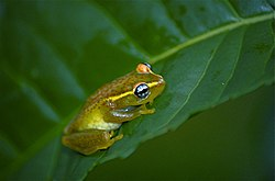 Central Bright-eyed Frog (Boophis rappiodes) (9654290731).jpg
