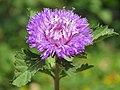 Centratherum punctatum - Brazilian Button Flower (1).jpg