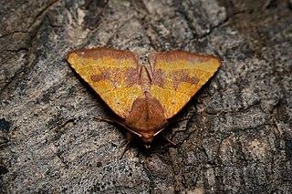 <i>Atethmia centrago</i> species of moth