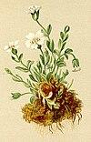Cerastium uniflorum Atlas Alpenflora.jpg
