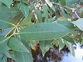 Ceratopetalum gummiferum leave 4.jpg