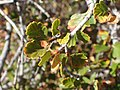 Cercocarpus montanus kz02.jpg