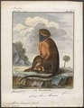 Cercopithecus diana - 1700-1880 - Print - Iconographia Zoologica - Special Collections University of Amsterdam - UBA01 IZ19900080.tif
