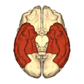 Cerebrum - temporal lobe - inferior view.png