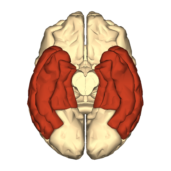 File:Cerebrum - temporal lobe - inferior view.png