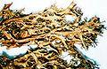 Cetrariella delisei-1.jpg