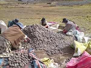 Crop diversity - Biodiverse agroecosystem: traditional potato harvesting high in the Andes, Manco Kapac Province, Bolivia, 2012