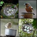 Chaffinch Collage (4590027922).jpg