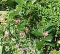 Chamaemespilus alpinus - Flickr - peganum (3).jpg