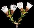 Chamelaucium pauciflorum subsp. pauciflorum - Flickr - Kevin Thiele.jpg