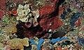Charcoal Damsel (Pomacentrus brachiali)s in front of Tube Sponge (Liosina granularis) (8481809357).jpg