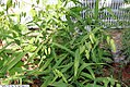 Chasmanthium latifolium 9zz.jpg