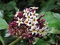 Chassalia curviflora flowers 15.jpg