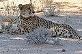 Cheetah (Acinonyx jubatus) collared female ... (51004919778).jpg