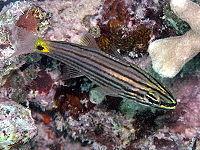 Cheilodipterus artus1