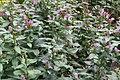 Chelone lyonii 2zz.jpg