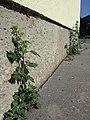 Chenopodium murale sl40.jpg