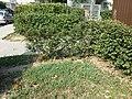 Chenopodium vulvaria sl91.jpg