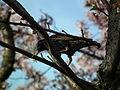 Cherry Blossom DC 2014 (14101315044).jpg