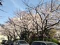 Cherry Blossoms in Hakozaki Campus, Kyushu University 20150330-2.JPG