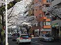 Cherry blossoms in Musashino.jpg