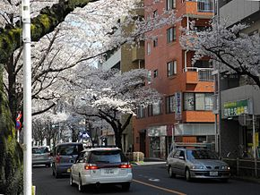 Cherry blossoms in Musashino.jpg