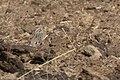 Chestnut-collared Longspur Davis Pasture Sonoita AZ 2018-01-26 11-49-21 (39912880772).jpg