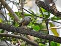 Chestnut-tailed starling 07.jpg