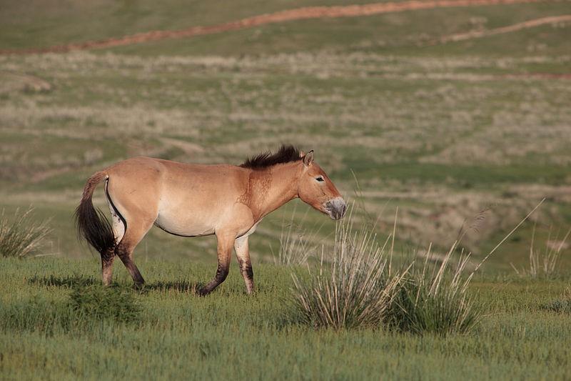 Cheval de Przewalski Mongolia.jpg