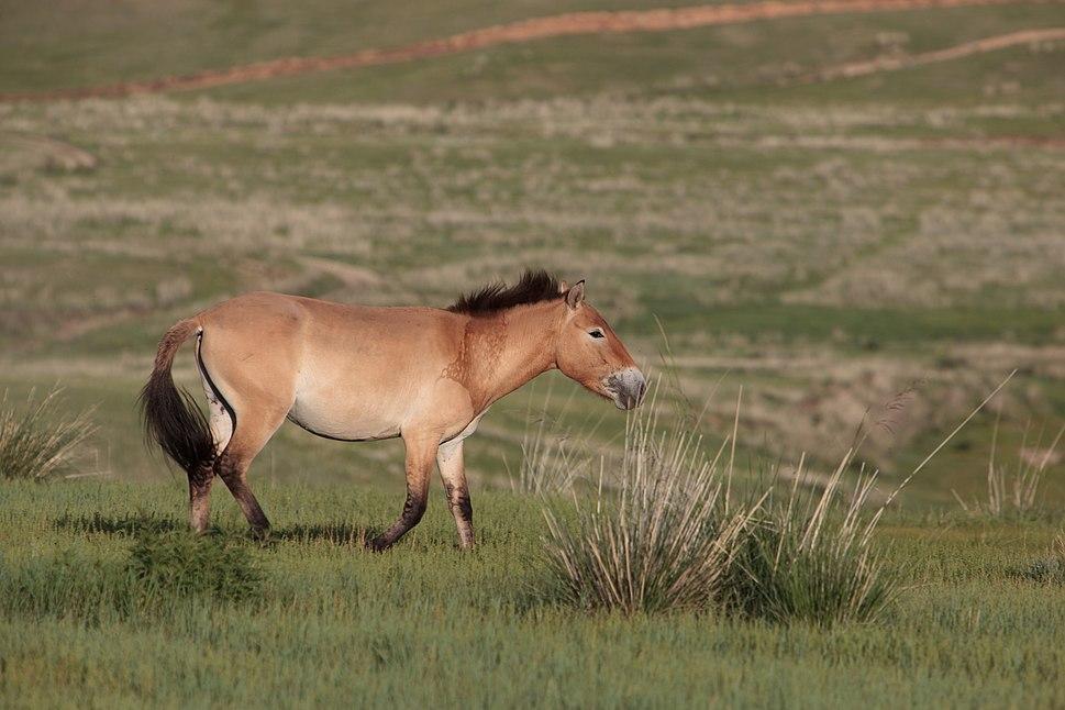 Cheval de Przewalski Mongolia