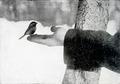 Chickadee-Bird-Lore 1 2-0070.png