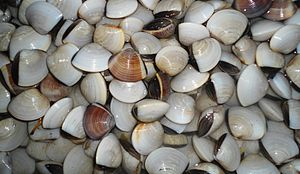 Meretrix (bivalve) - Meretrix lyrata (Sowerby, 1851) for sale as food in a market in Haikou City, Hainan Province, China
