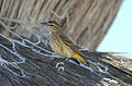 Chipe Playero, Palm Warbler, Dendroica palmarum (11060952783).jpg