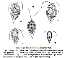 Chlamydomonas asexual reproduction pictures