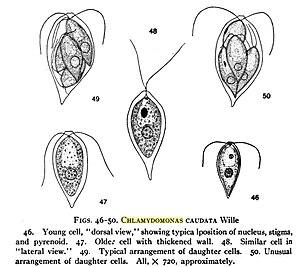 Chlamydomonas - Image: Chlamydomonas caudata