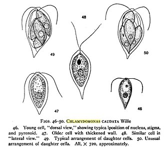 Chlamydomonas - Drawings of Chlamydomonas caudata Wille.